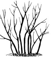 Sorbaria sorbifolia.