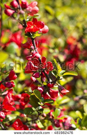 Shrub Rhododendron Bud Stock Photos, Royalty.