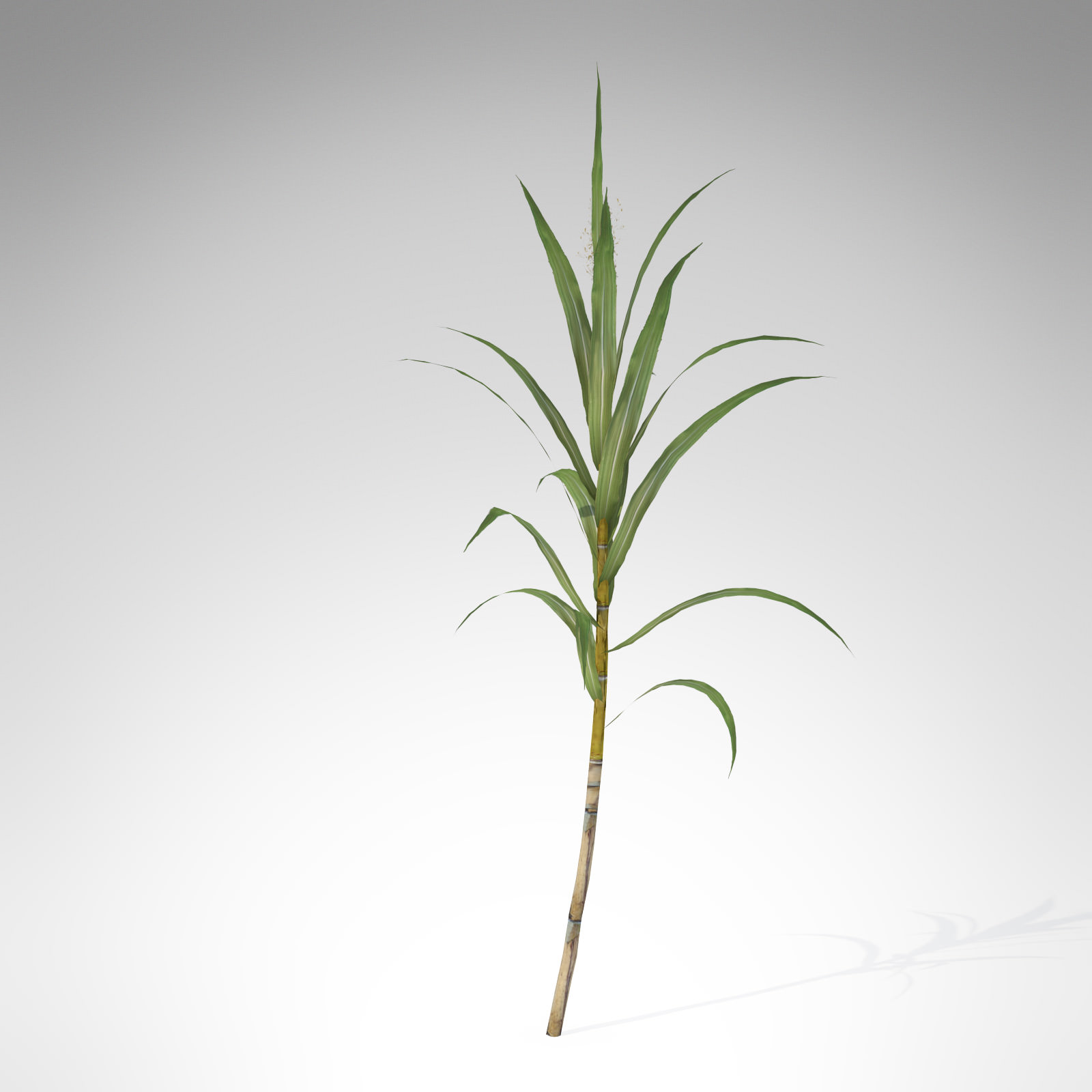 Sugarcane Clipart.