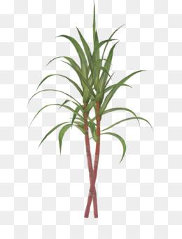 Sugarcane PNG.