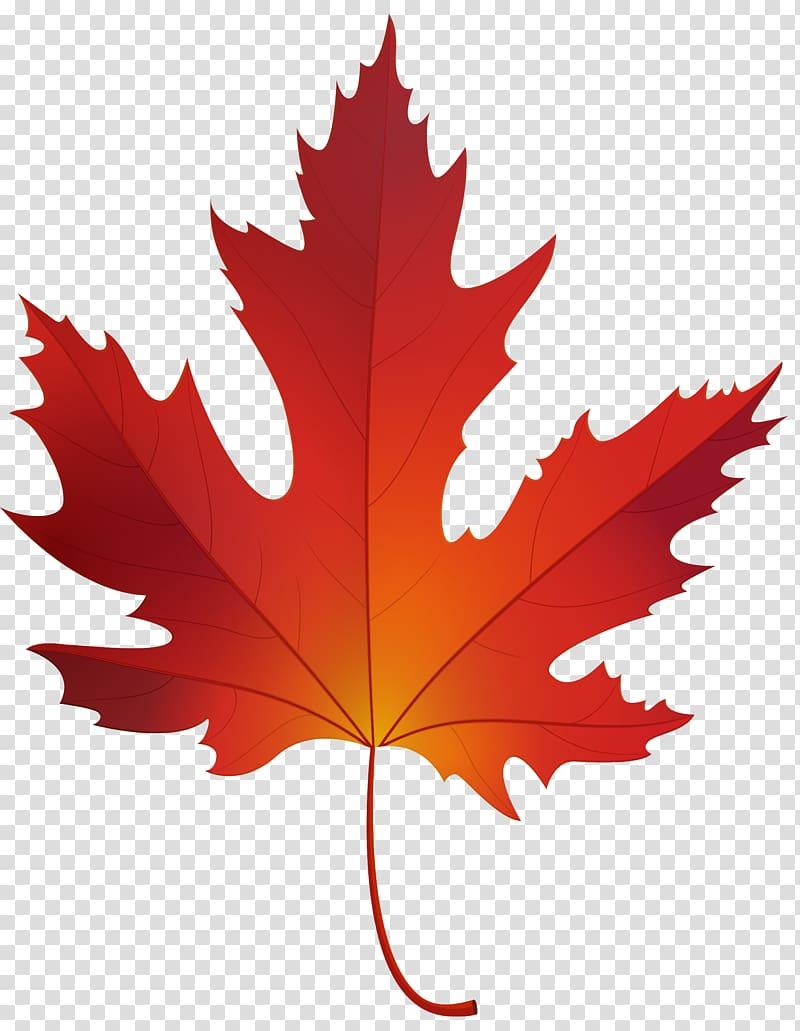 Red maple Sugar maple Maple leaf , maple leaf transparent.