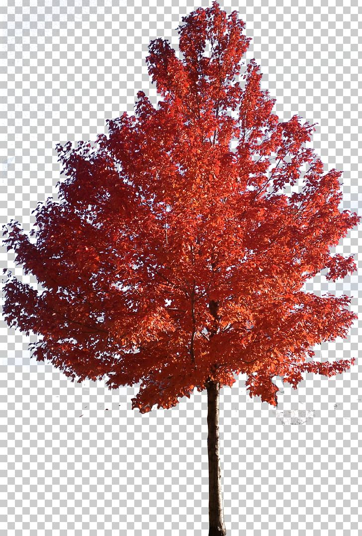 Red Maple Japanese Maple Sugar Maple Tree PNG, Clipart.