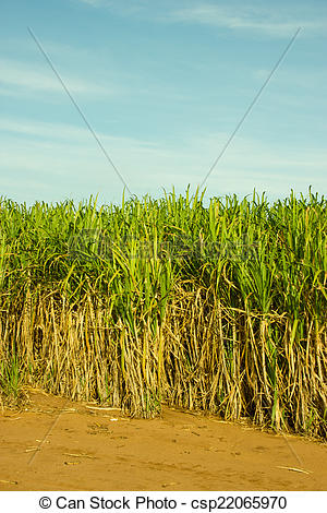 Picture of Sugar Cane Plantation in South.