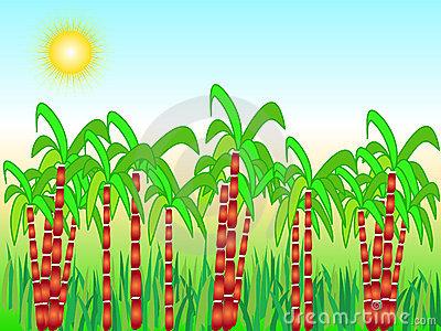 Sugarcane Stock Illustrations.