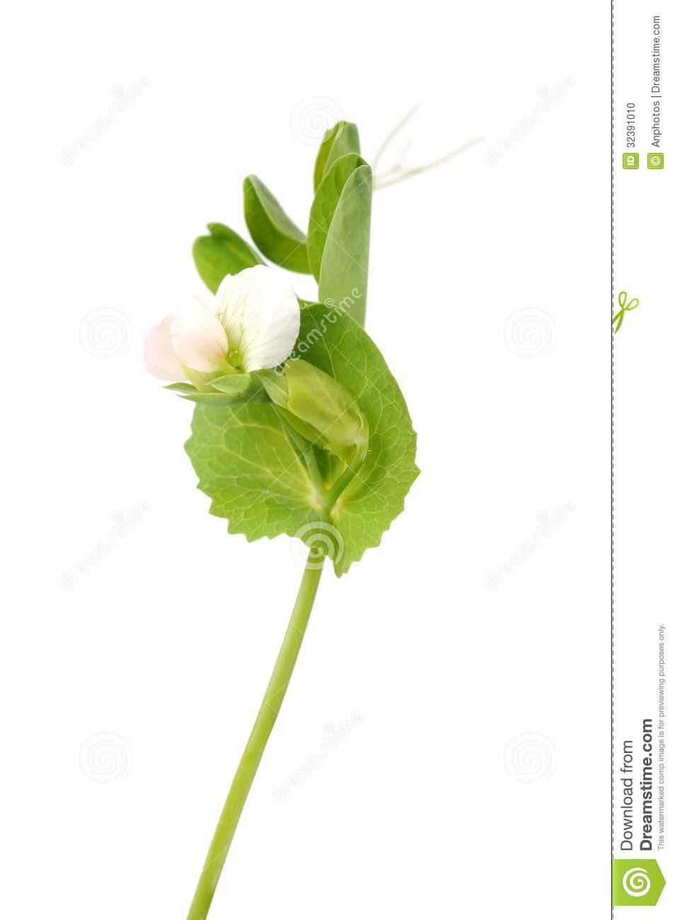 Sugar Pea Pod Flower Stock Photo.