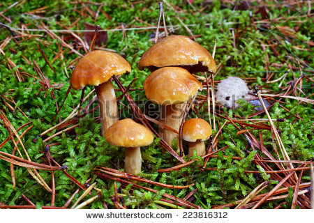 Suillus Bovinus Stock Photos, Images, & Pictures.