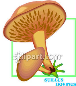 Suillus_Bovinus_Mushrooms_Royalty_Free_Clipart_Picture_081219.