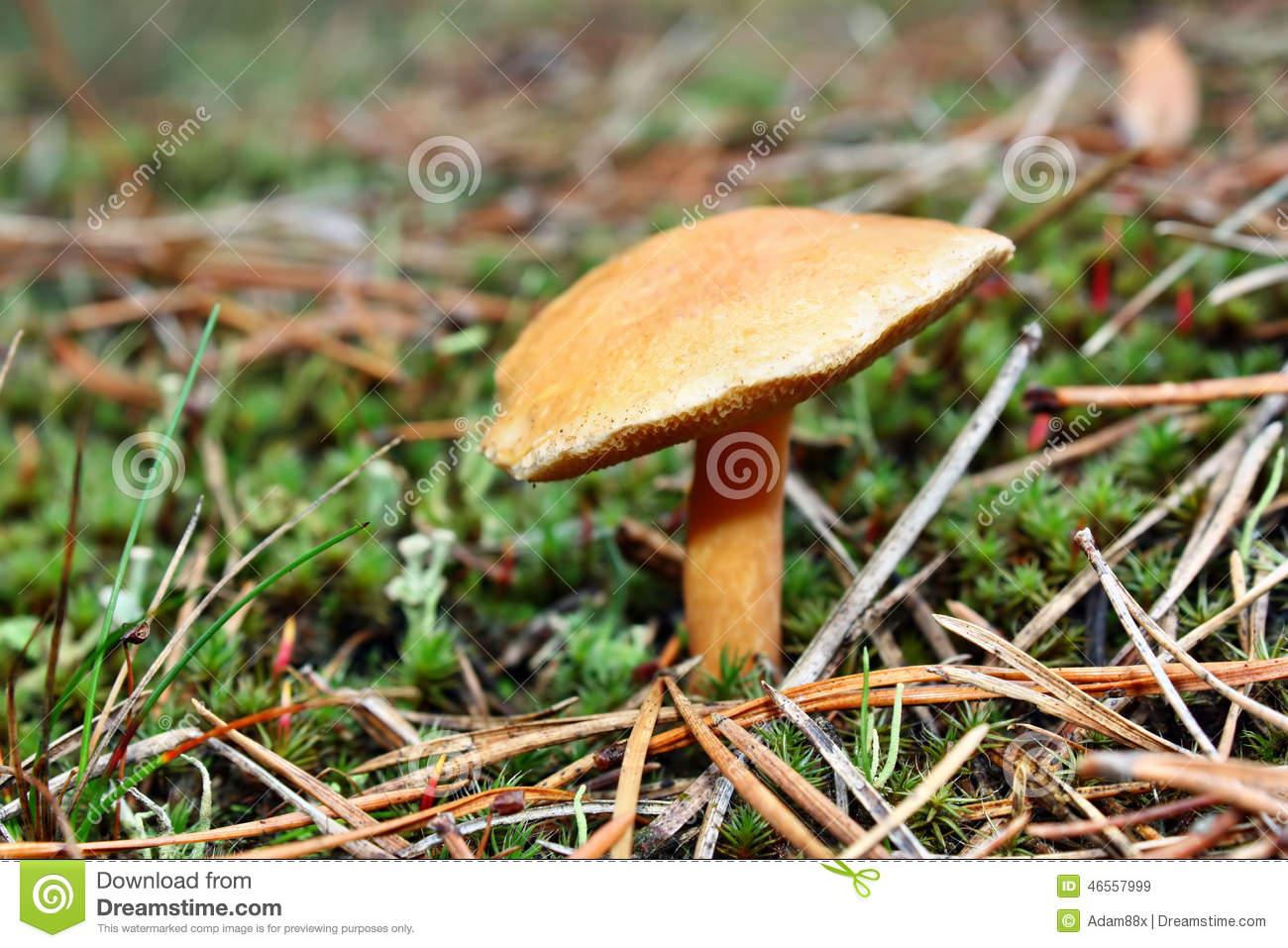 Mushrooms Suillus Bovinus Stock Photo.