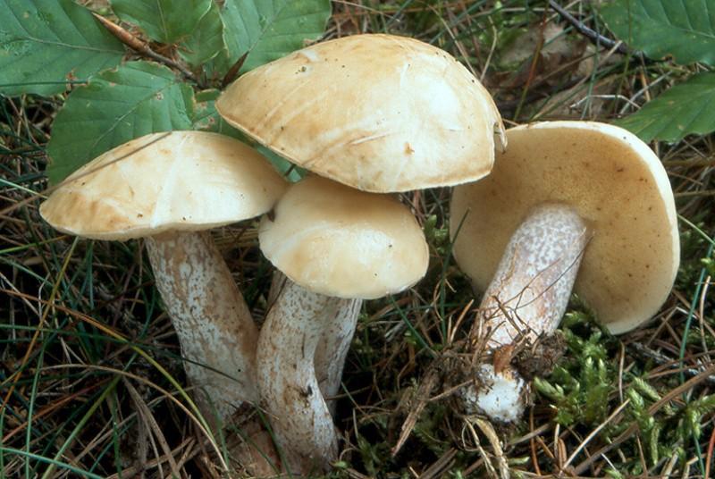 Suillus placidus.