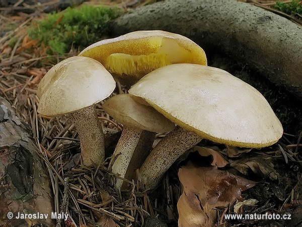 Suillus placidus Mushroom Pictures, Suillus placidus Images.