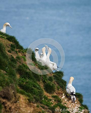 Two Gannets In Flight Stock Photo.