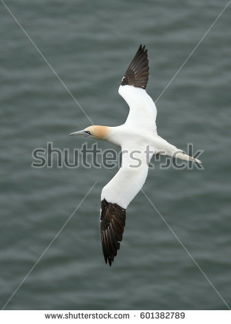 Seabirds Stock Images, Royalty.