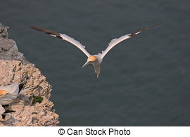 Picture of Gannet.