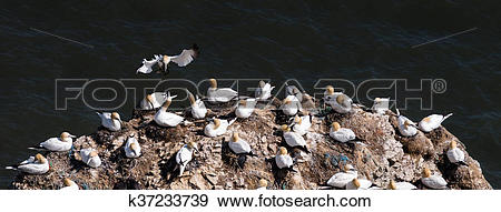 Stock Photograph of Gannets.