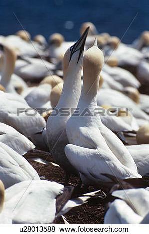 Pictures of Northern Gannet (Morus bassanus) Sulidae, Bird Rock.