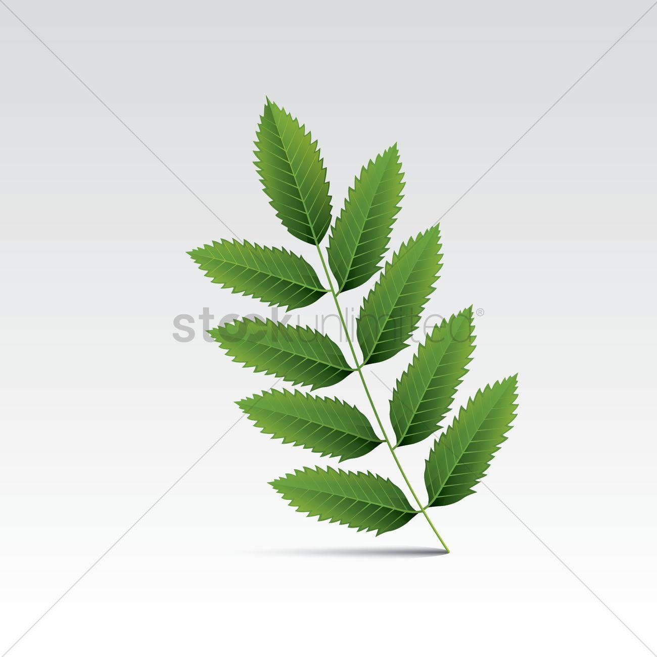 Sumac leaf Vector Image.