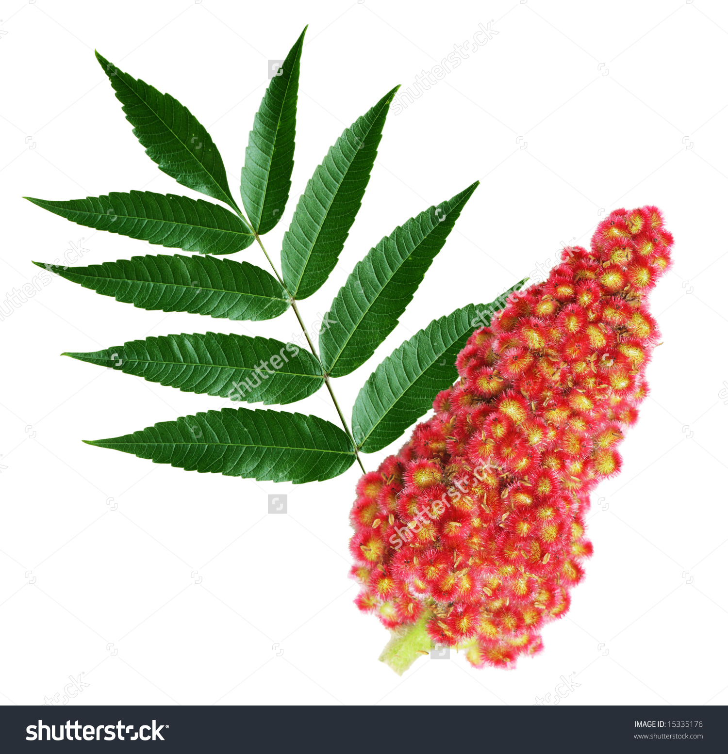 Staghorn Sumac Leaves Flowers Isolated On Stock Photo 15335176.
