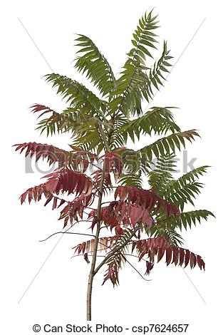Plant rhus staghorn sumac Images and Stock Photos. 34 Plant rhus.