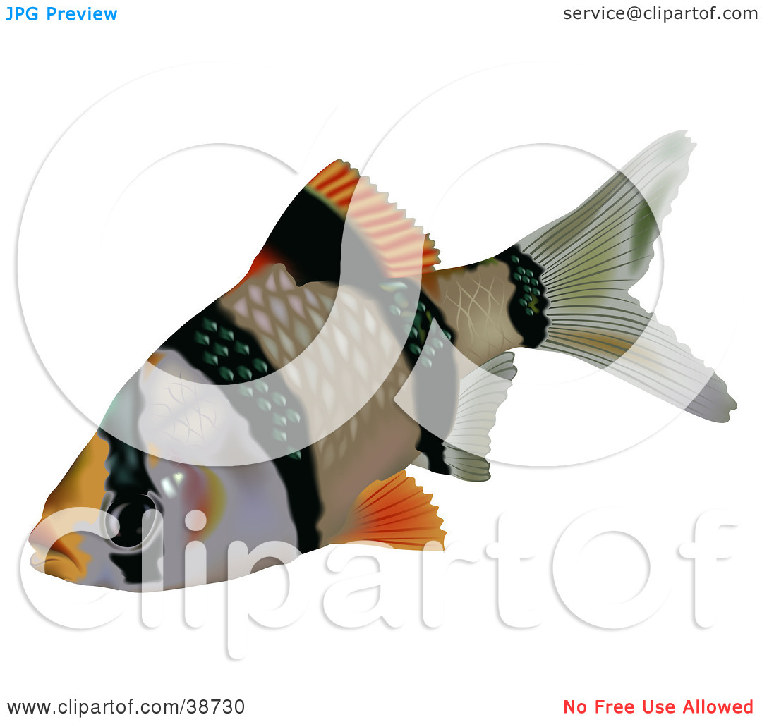 Clipart Illustration of a Black And Orange Tiger Barb Or Sumatra.