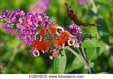 Stock Photography of Summer Lilac with European peacock 04.