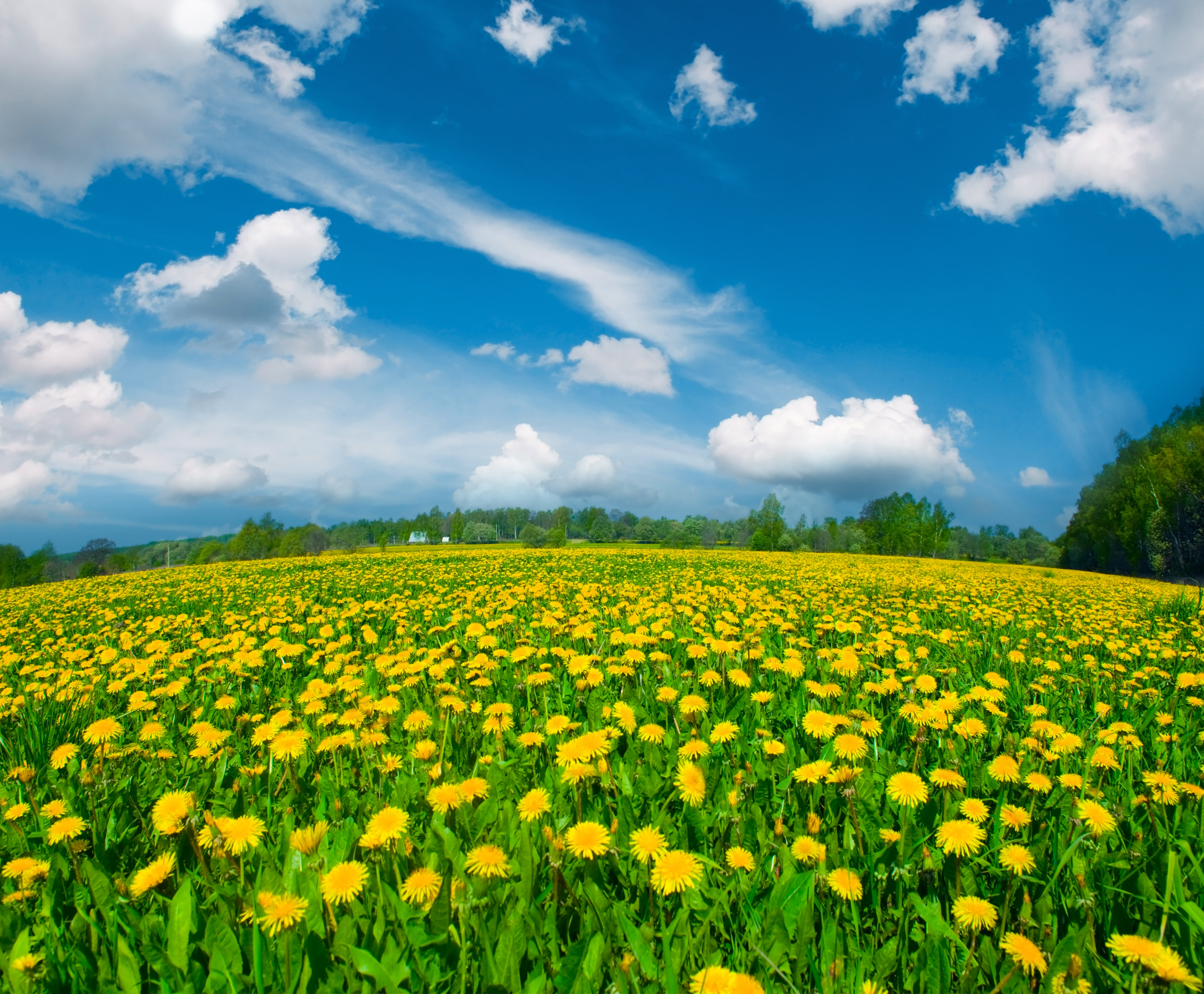 Summer Meadow with Dandelions Background.