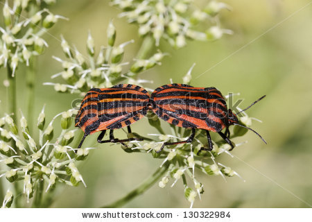 "red And Black Striped Stink Bug"" Stock Photos, Royalty."