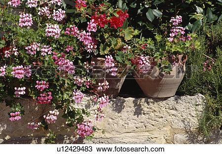 Stock Photo of Colourful flowering summer plants in pots in.