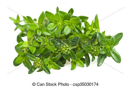 Picture of Summer savory branch isolated on white csp35030174.