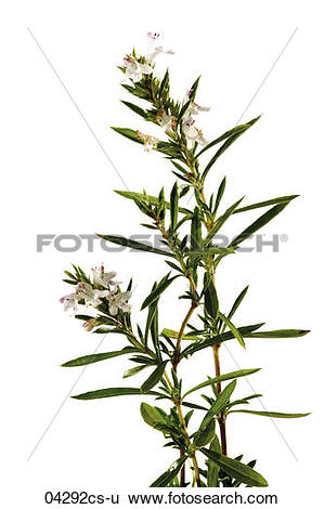 Stock Images of Flowering summer savory, close.