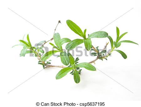 Stock Images of summer savory.