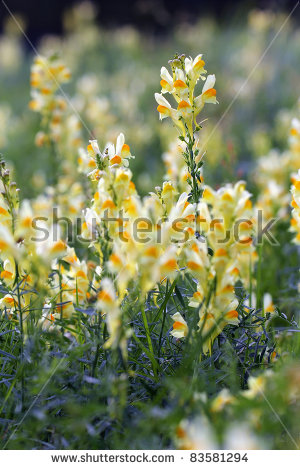 Yellow Toadflax Stock Photos, Royalty.
