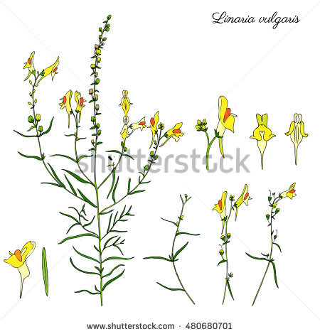 Toadflax Stock Photos, Royalty.