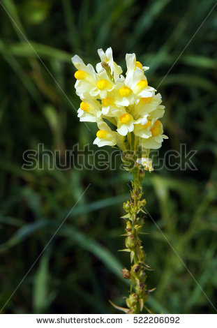 Toadflax. Stock Photos, Royalty.