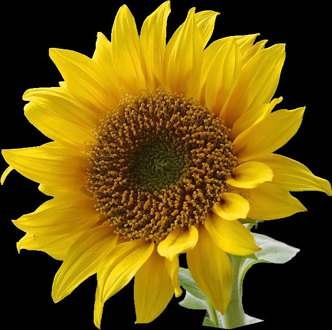 sun flower clipart.