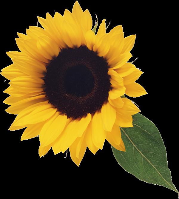 Sunflower clip art 6.