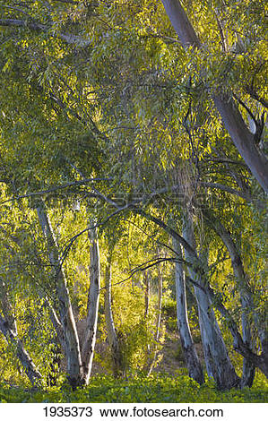 Stock Photo of Gum Trees And Sun Dappled Foliage; Torremolinos.