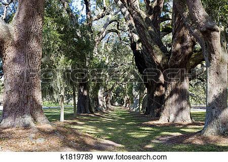 Stock Photograph of Lane of Sun Dappled Oaks k1819789.