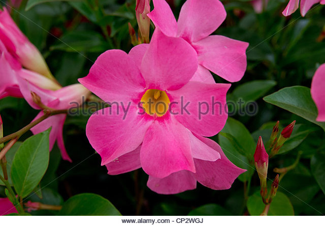 Mandevilla Flowers Stock Photos & Mandevilla Flowers Stock Images.