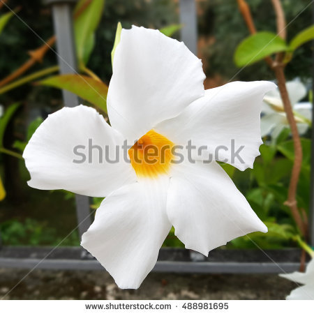 Dipladenia Sundaville Stock Photos, Royalty.