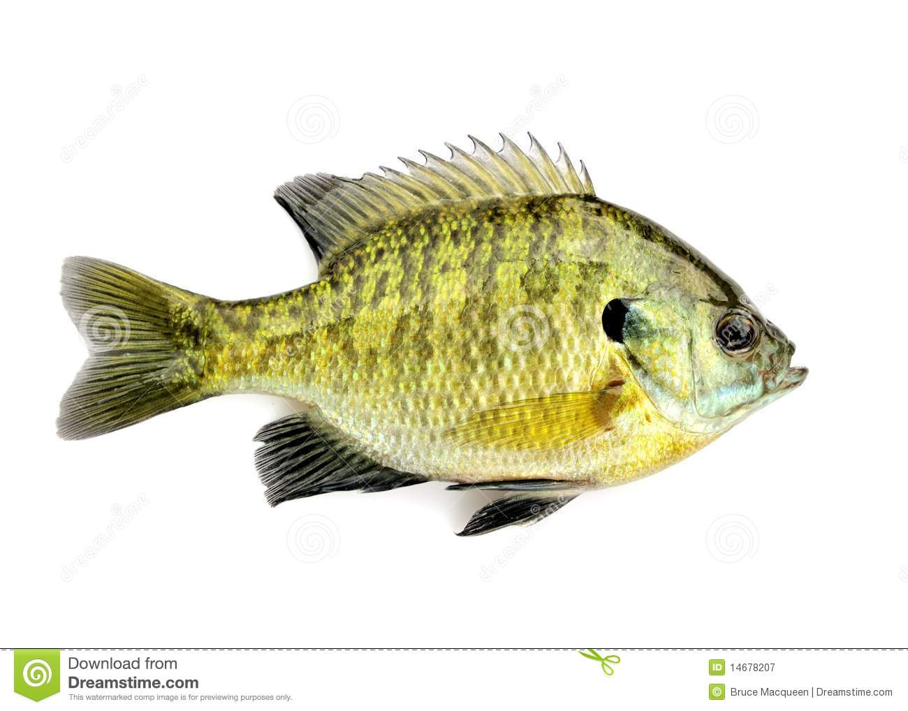 Sunfish Royalty Free Stock Photography.