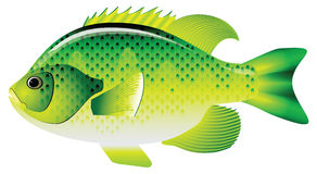 Sunfish Stock Illustrations.