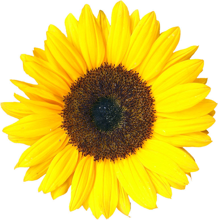 Sunflower (mathematics).