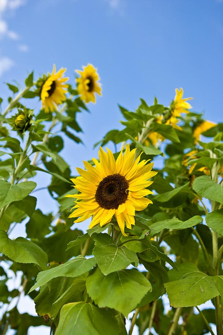 Sunflowers: How to Plant, Grow, and Care for Sunflower Plants.