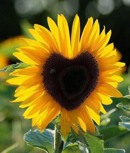 25+ best ideas about Sunflowers on Pinterest.