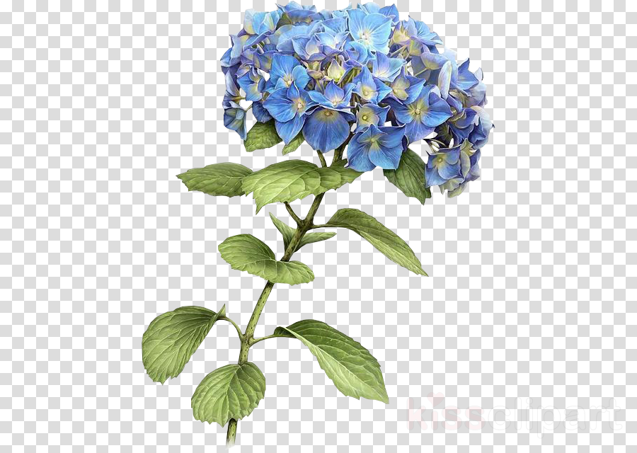 flower flowering plant blue plant hydrangea clipart.
