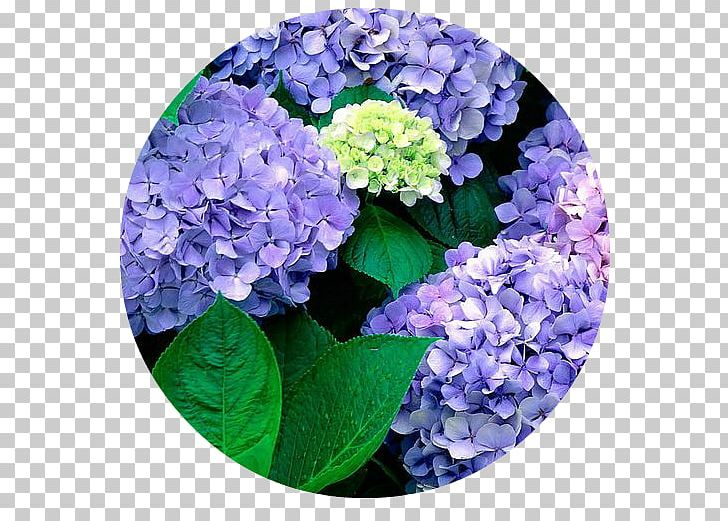 French Hydrangea Flower Garden Seed PNG, Clipart, Blue.