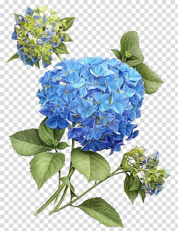 Blue and green flowers illustration, French hydrangea.