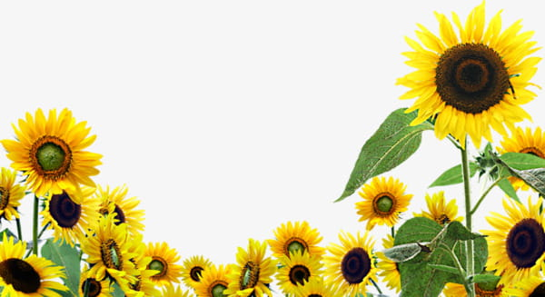 Sunflower poster background pattern PNG clipart.