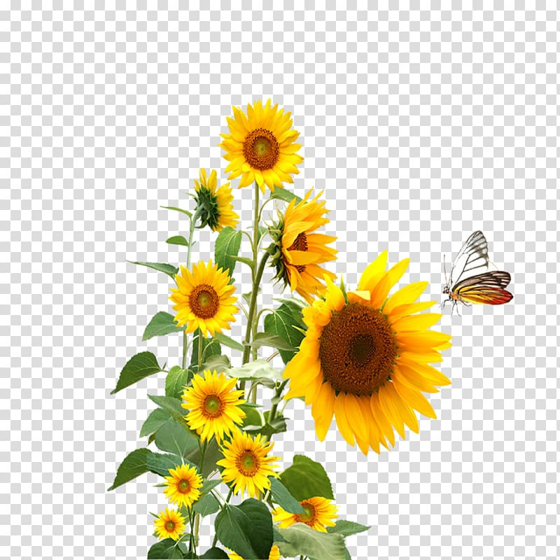 Common sunflower, sunflower,butterfly transparent background.