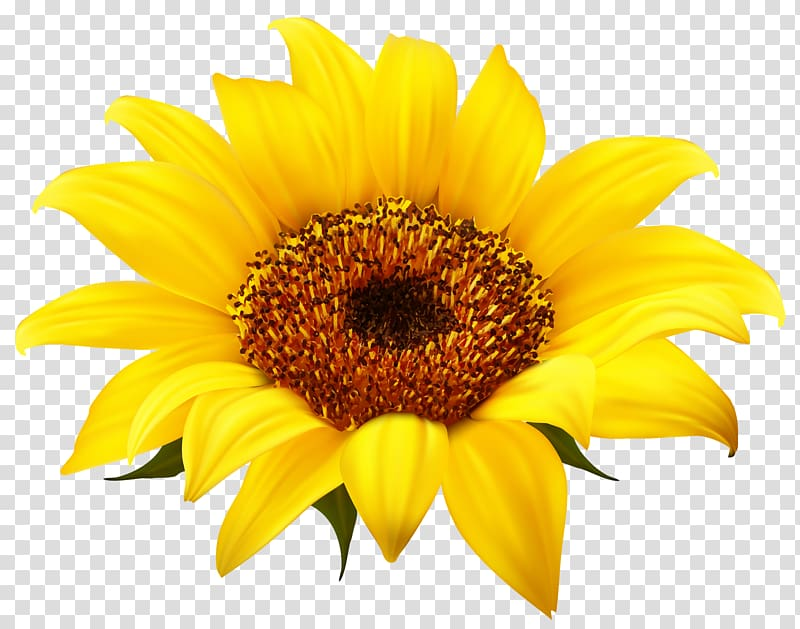 Common sunflower , Sunflower transparent background PNG.